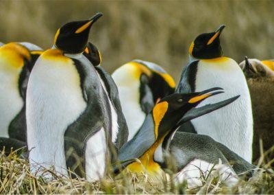 FD Tierra del Fuego y Pinguino Rey