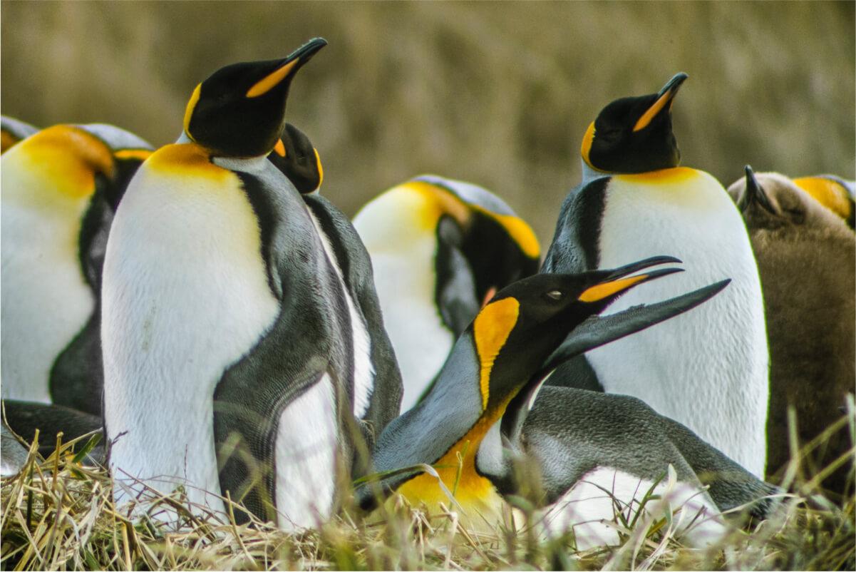 Full Day Tierra del Fuego y Pingüinos Rey